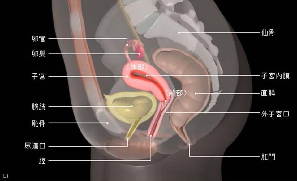 骨盤と子宮の仕組み